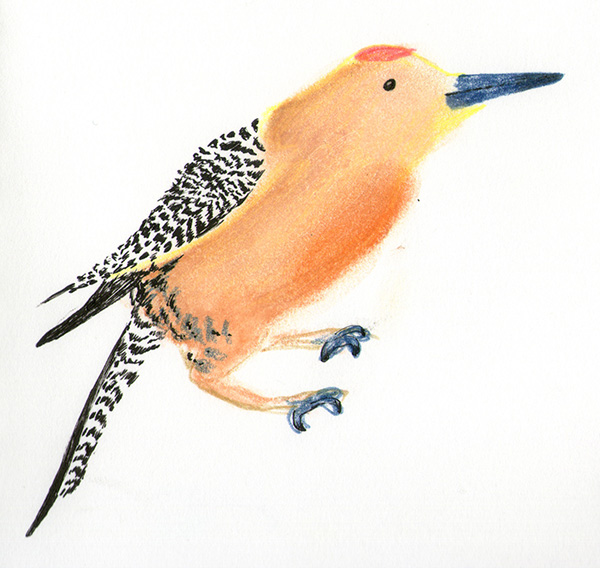 gilded flicker bird illustration colored pencil pastel