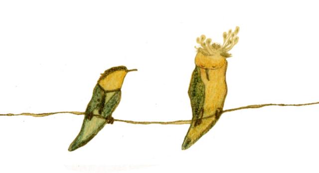 Barn swallows wooing